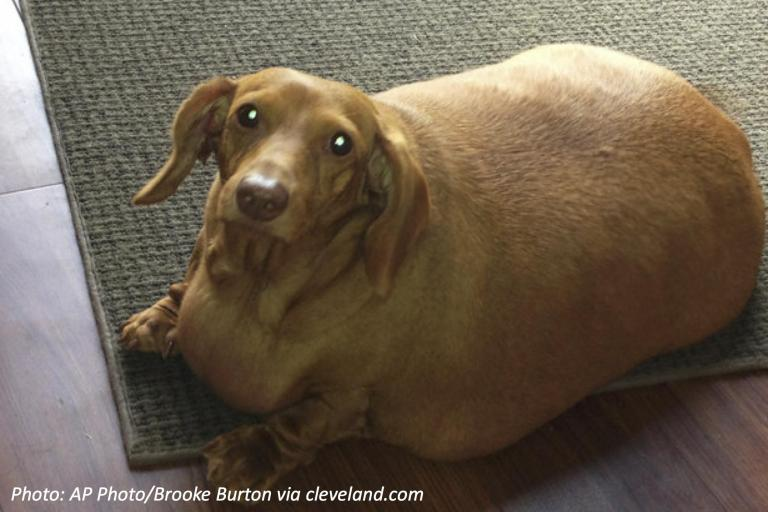 Dachshund-before-diet.jpg