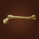 Beauty's Favorite Bone Model